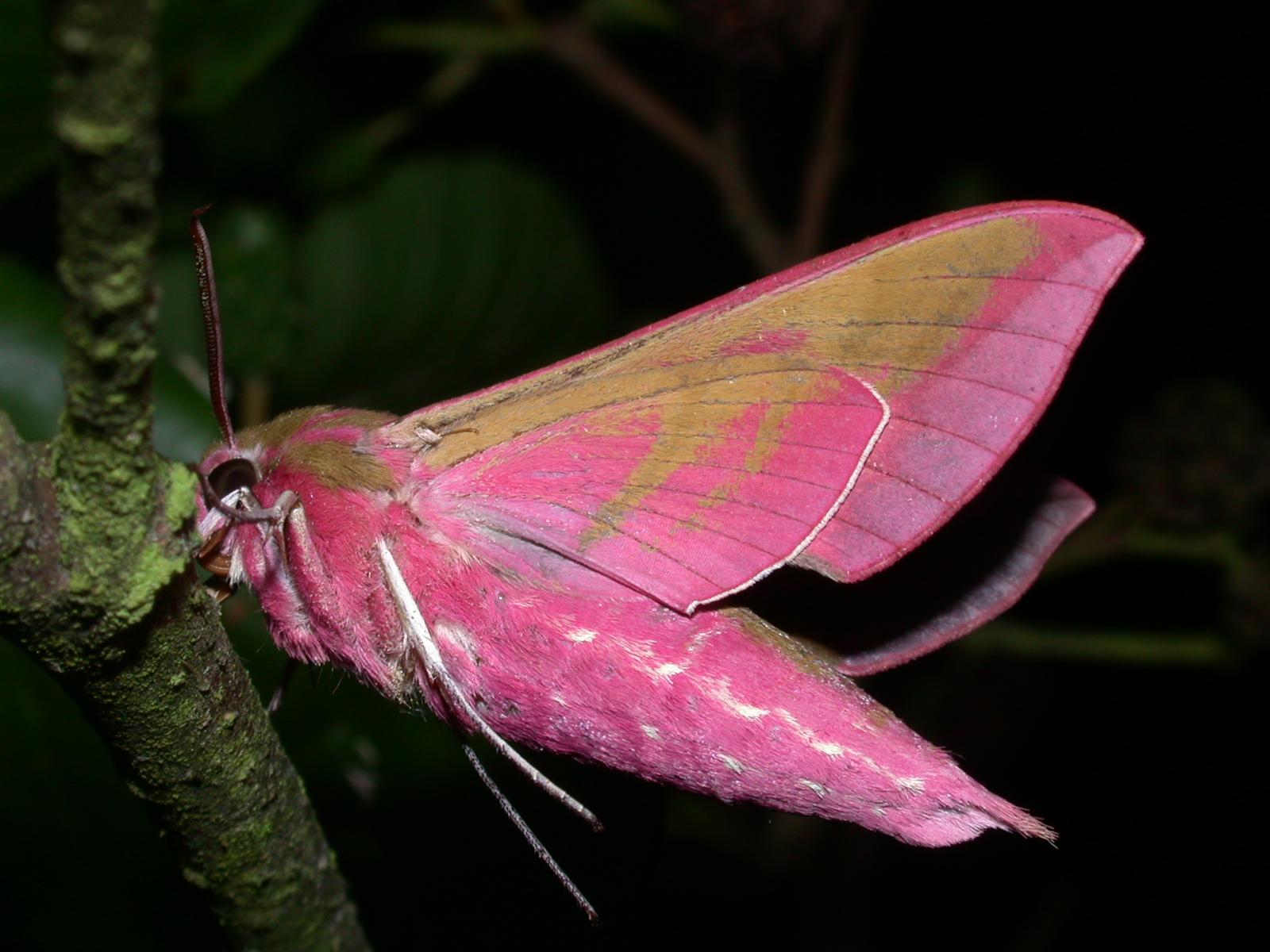21 mai 2011 nuit du papillon dans la for t de verneuil adiv environnement - Duree de vie papillon de nuit ...