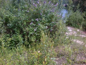 Buisson de Buddleja davidii phographié à la Base de Loisirs du Val de Seine
